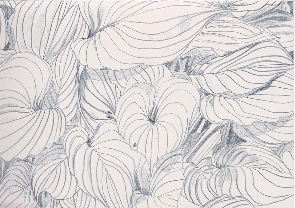 Leaf sketch, Madeleine Corcoran