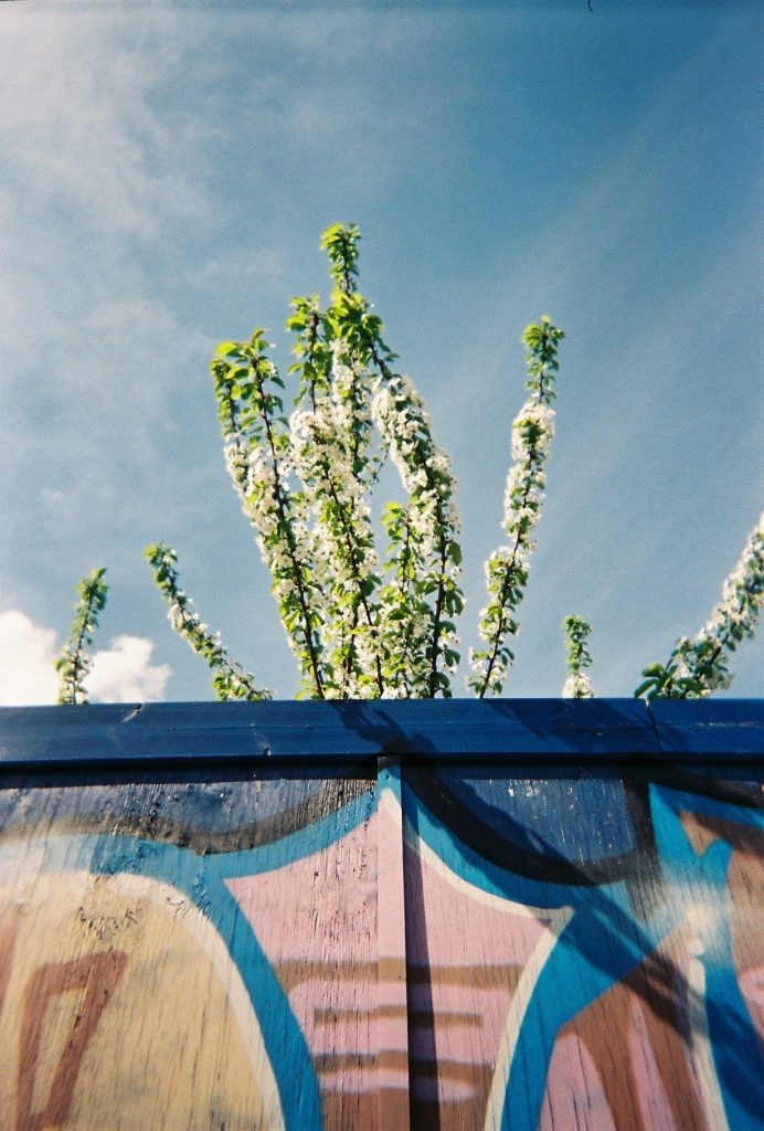 M Corcoran 2016, blossom tree behind the blue fence